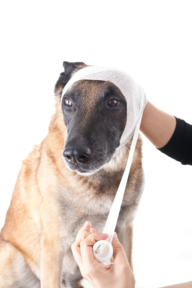 What Should You Do If Your Dog Suffers a Head Injury? | VETMED
